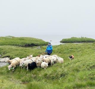 Sau og lam som går i fjellet heile sommaren er eit heilt naturleg produkt, og bonde Johannes Herheim meiner det er bra at ekstraarbeidet løner seg. Her er familien til Lise Vistnes i fjellet og sankar dyr frå beite.