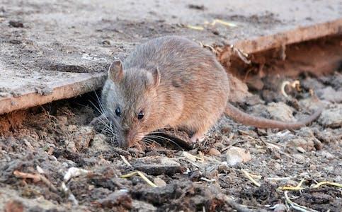 Tilbakemeldingar frå publikum tyder på at rottebestanden i Sauda har auka dette året.